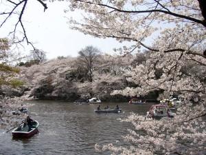満開の井の頭公園の桜