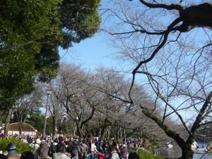 2009年3月15日の井の頭公園の桜