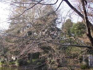 2009年3月20日の井の頭公園の桜