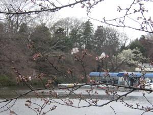 2009年3月22日の井の頭公園の桜