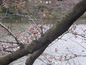 2009年3月22日の桜のつぼみ