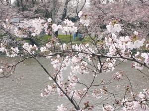 2009/03/29の井の頭公園の桜