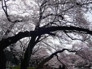2009年4月5日の井の頭公園の桜