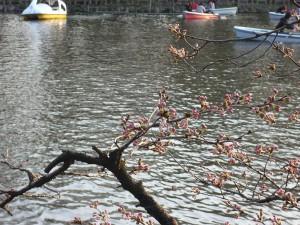 井の頭公園の桜(2010/03/22)