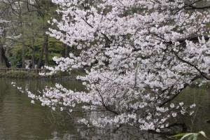 井の頭公園の桜(2010年4月4日)