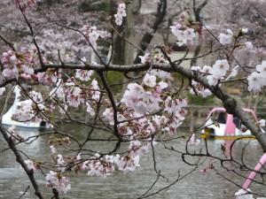 2011年4月3日(日)の桜