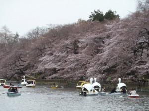 2011年4月3日(日)の桜。橋の上から