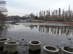 井の頭池のかいぼり